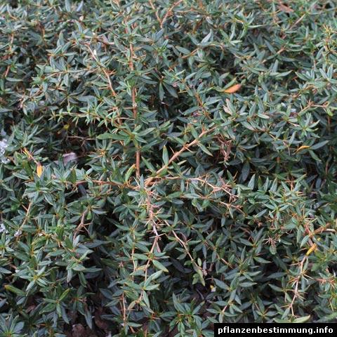 Berberis × frikartii
