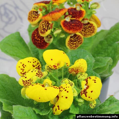Calceolaria × herbeohybrida