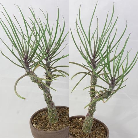 Kleinia patriciae