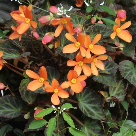 Begonia-SWF