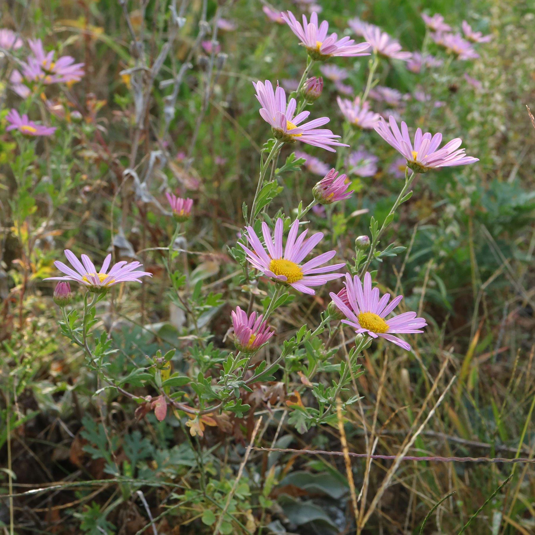 Chrysanthemum zawadskii Clara Curtis 1
