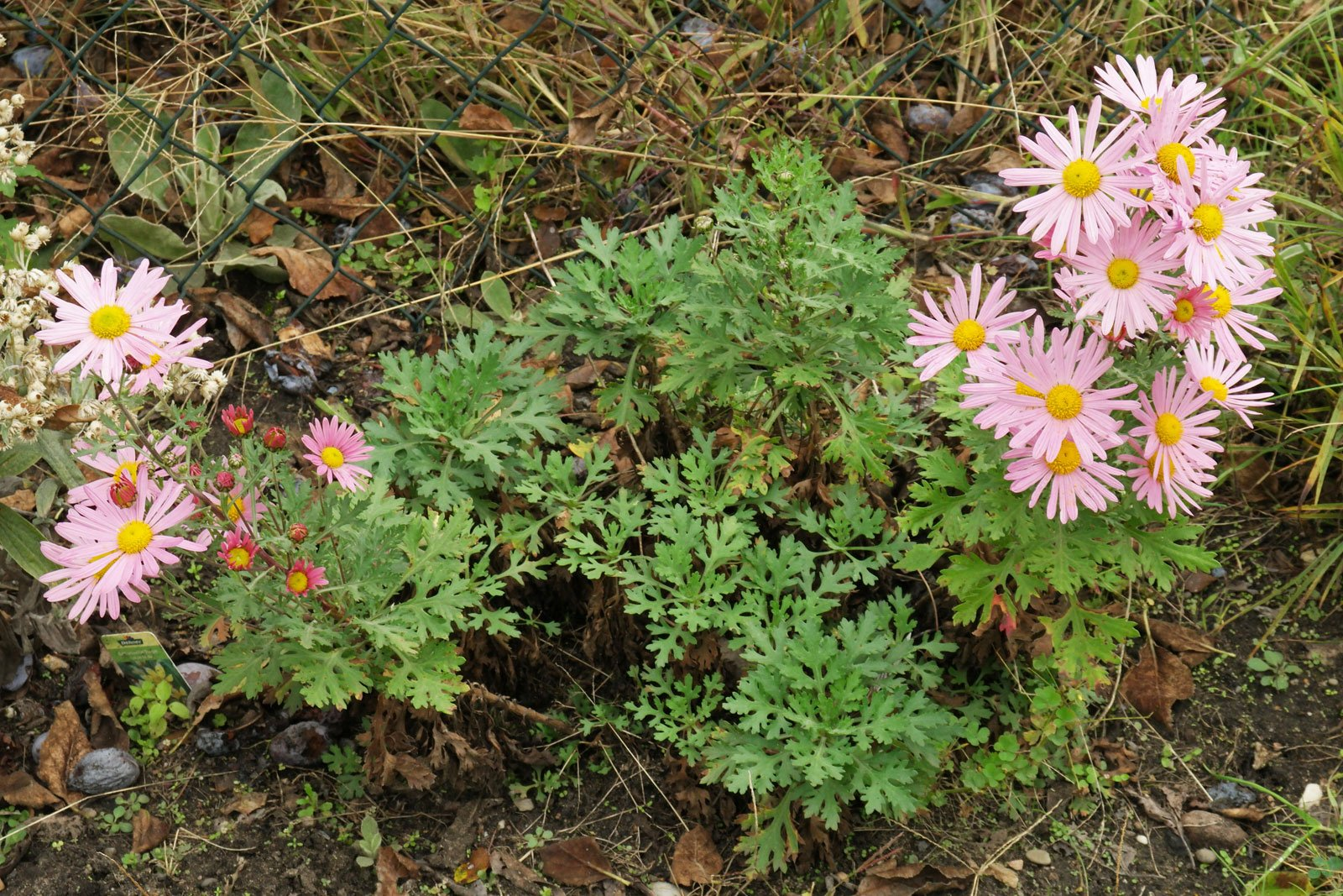 Chrysanthemum zawadskii Clara Curtis 2