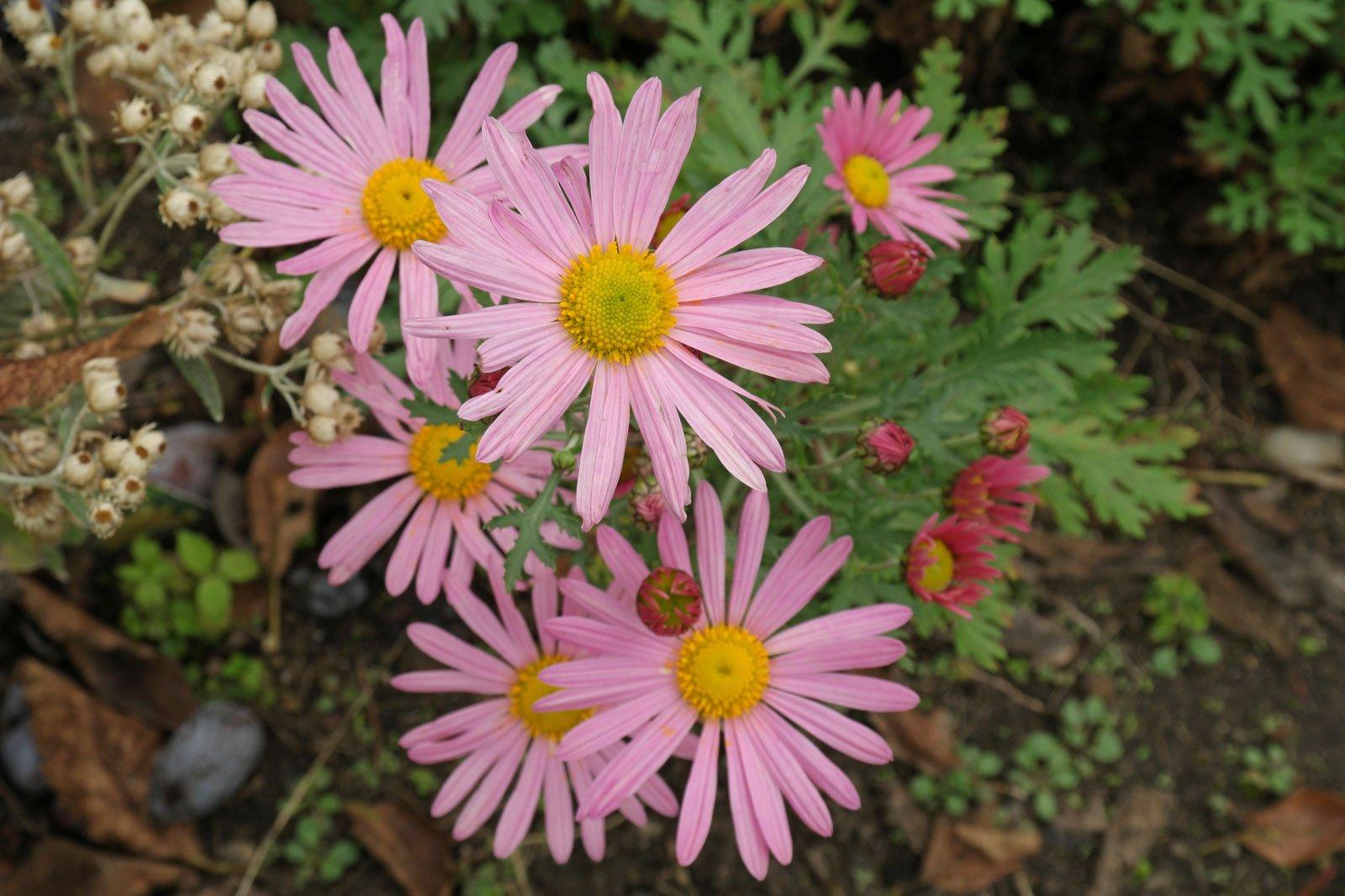 Chrysanthemum zawadskii Clara Curtis 5