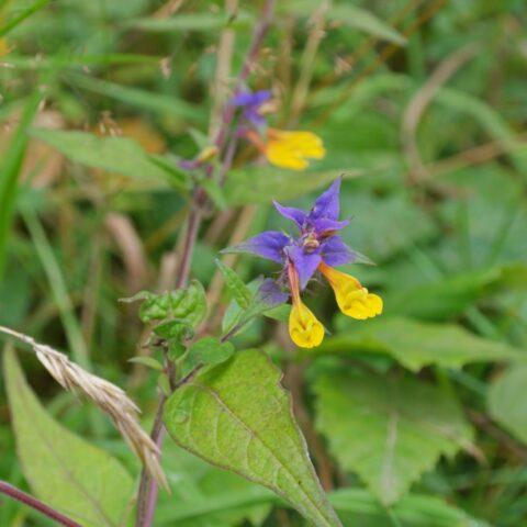 spigarola violaceae
