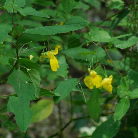 Balsamina gialla