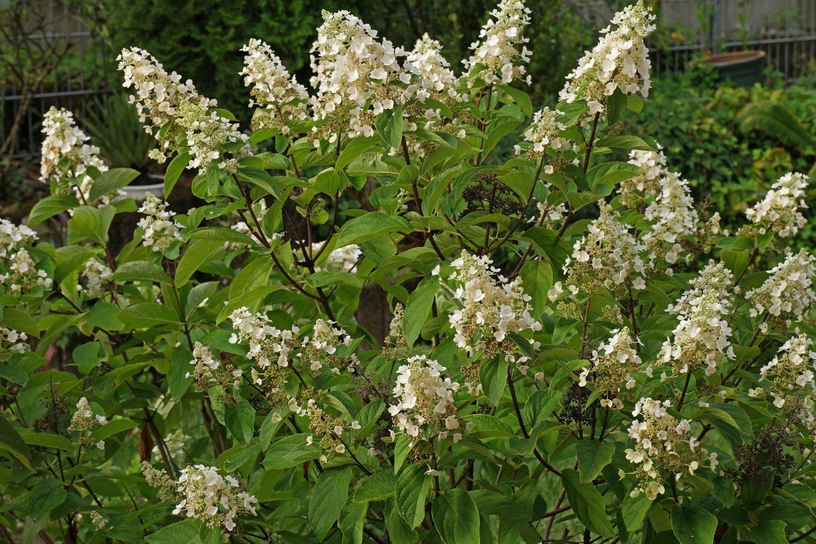 Arbusto Fiori Bianchi.Hydrangea Paniculata Cv