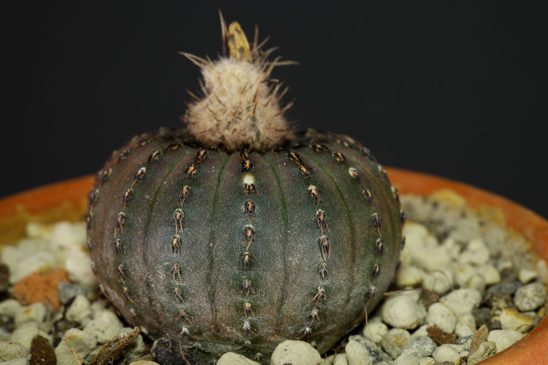 Frailea asterioides