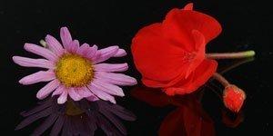 Fiori rossi e rosa