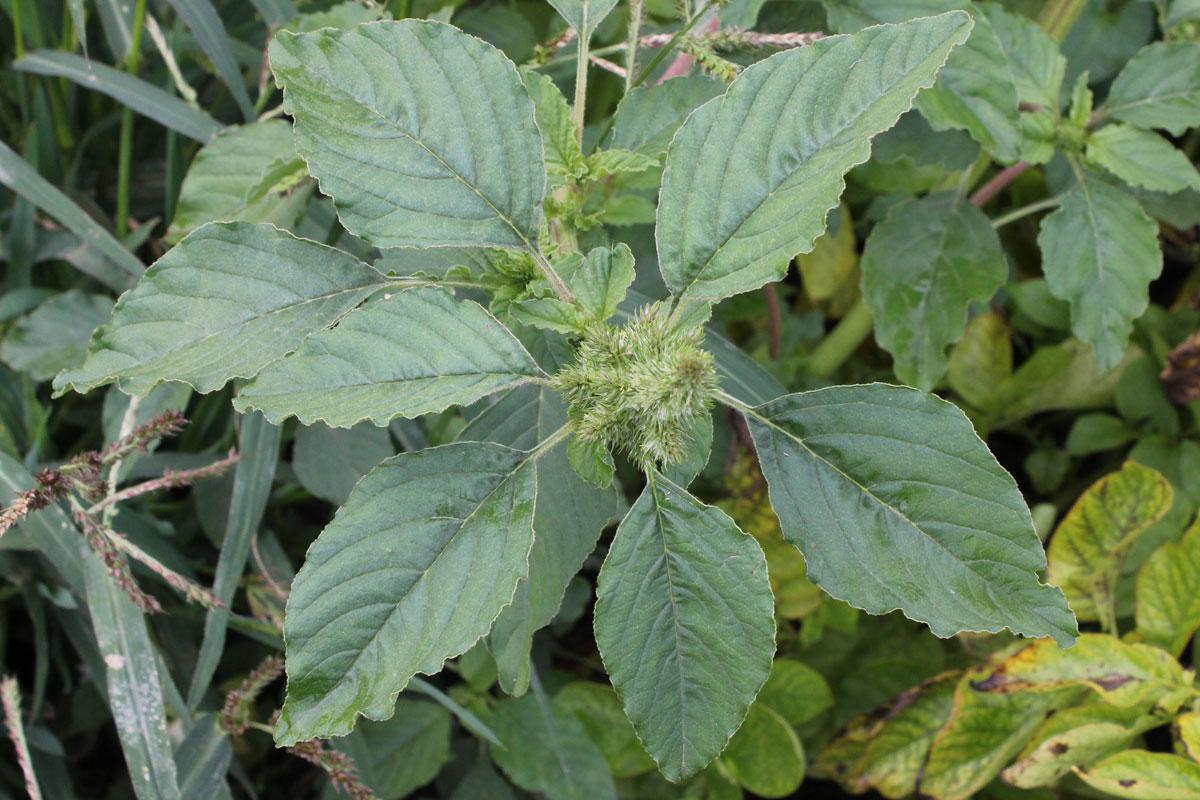 Amaranthus-retroflexus