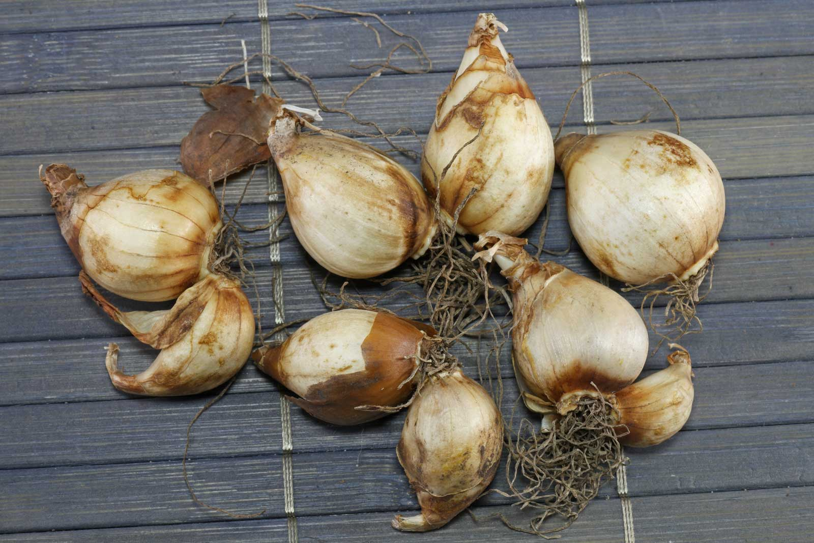 Narcissus bulbocodium Spoirot