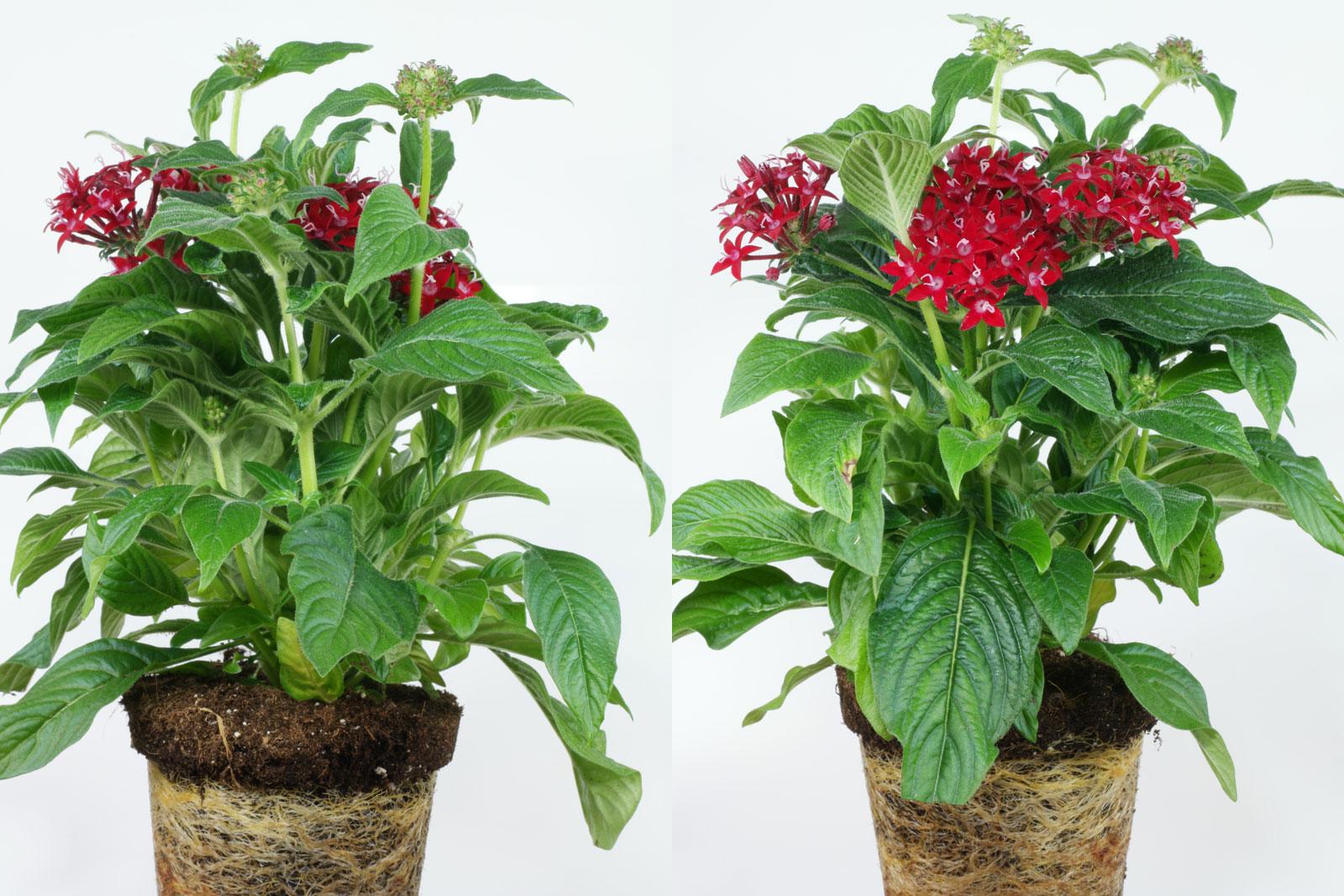 Pentas lanceolata cv.