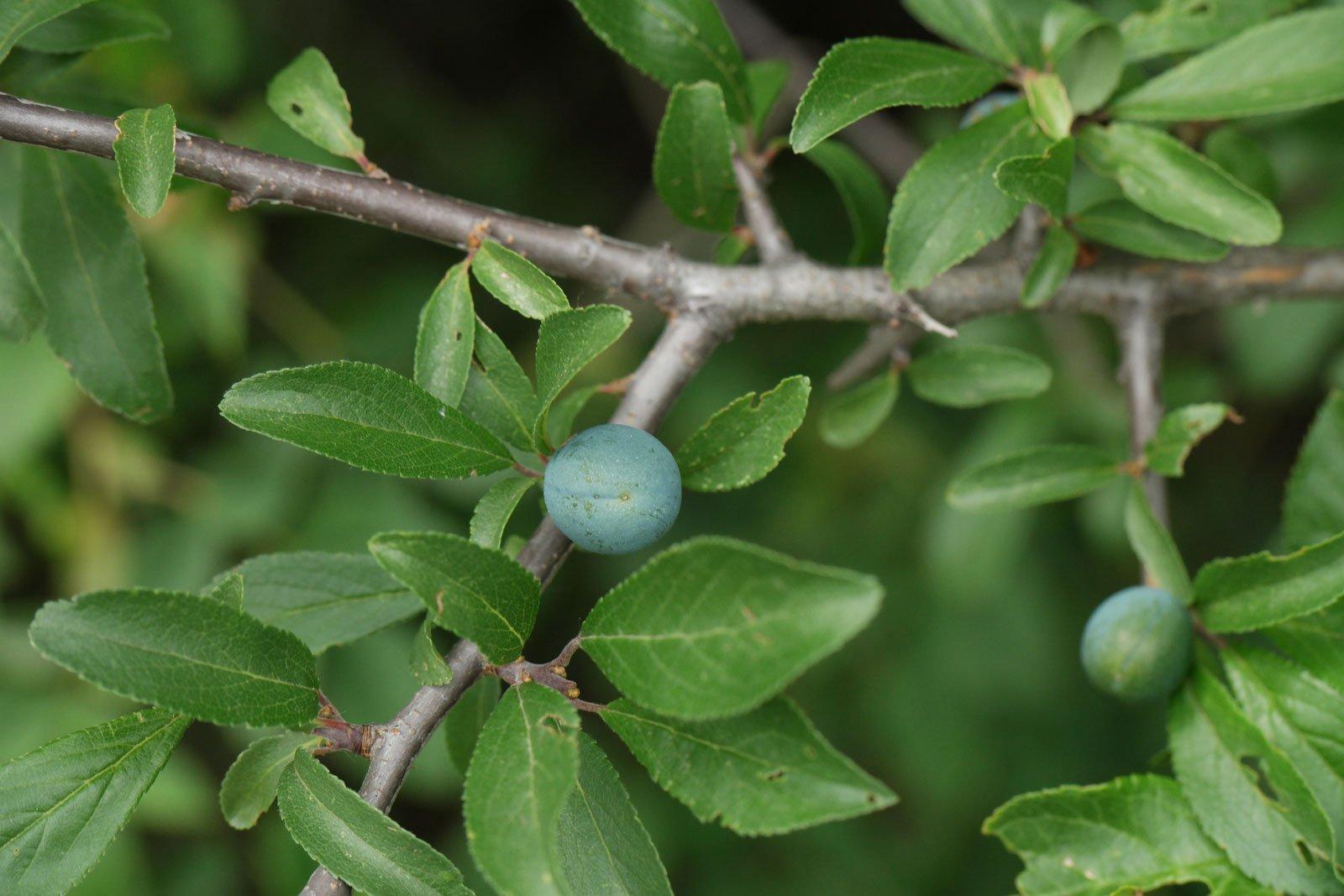 Prunus spinosa