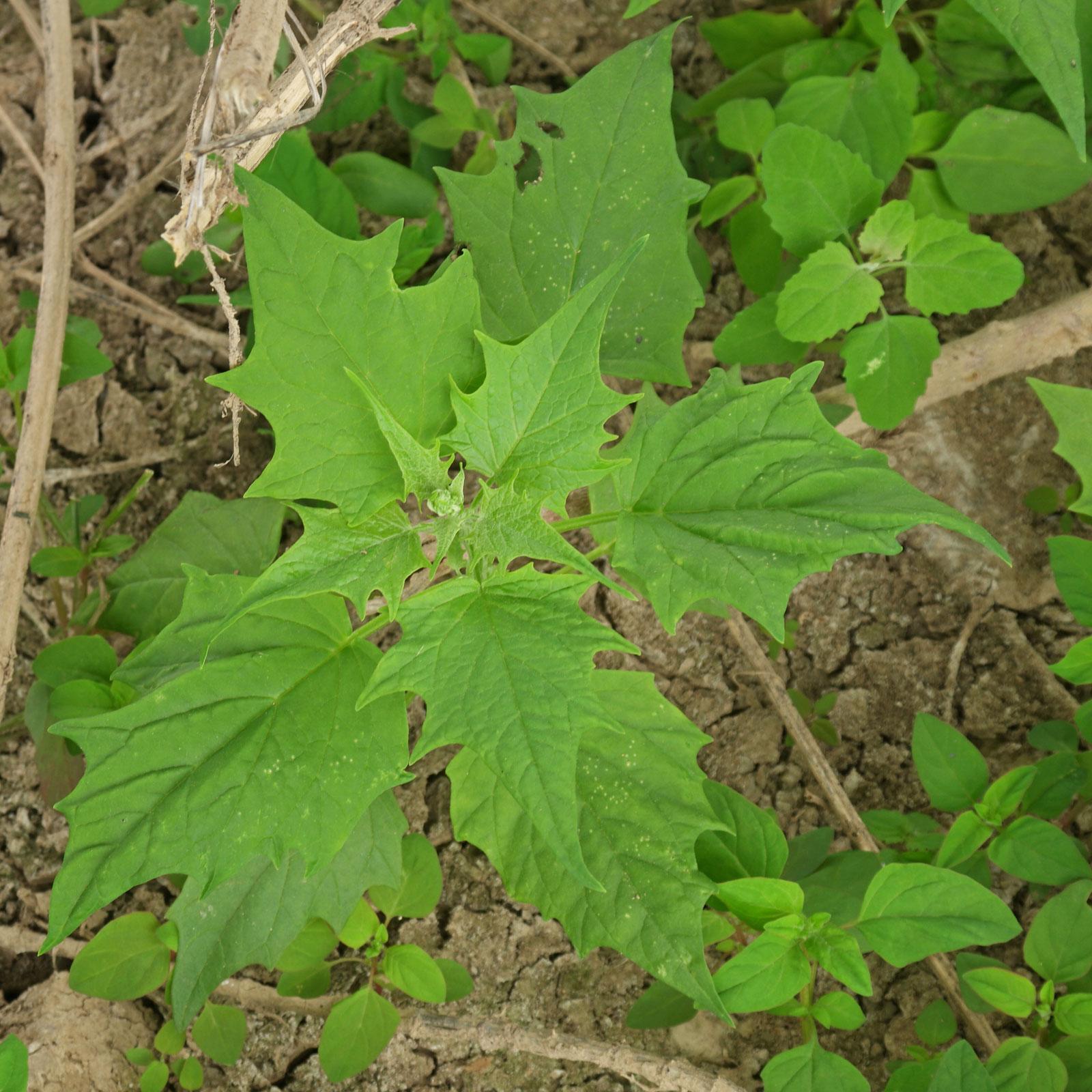 Chenopodiastrum hybridum