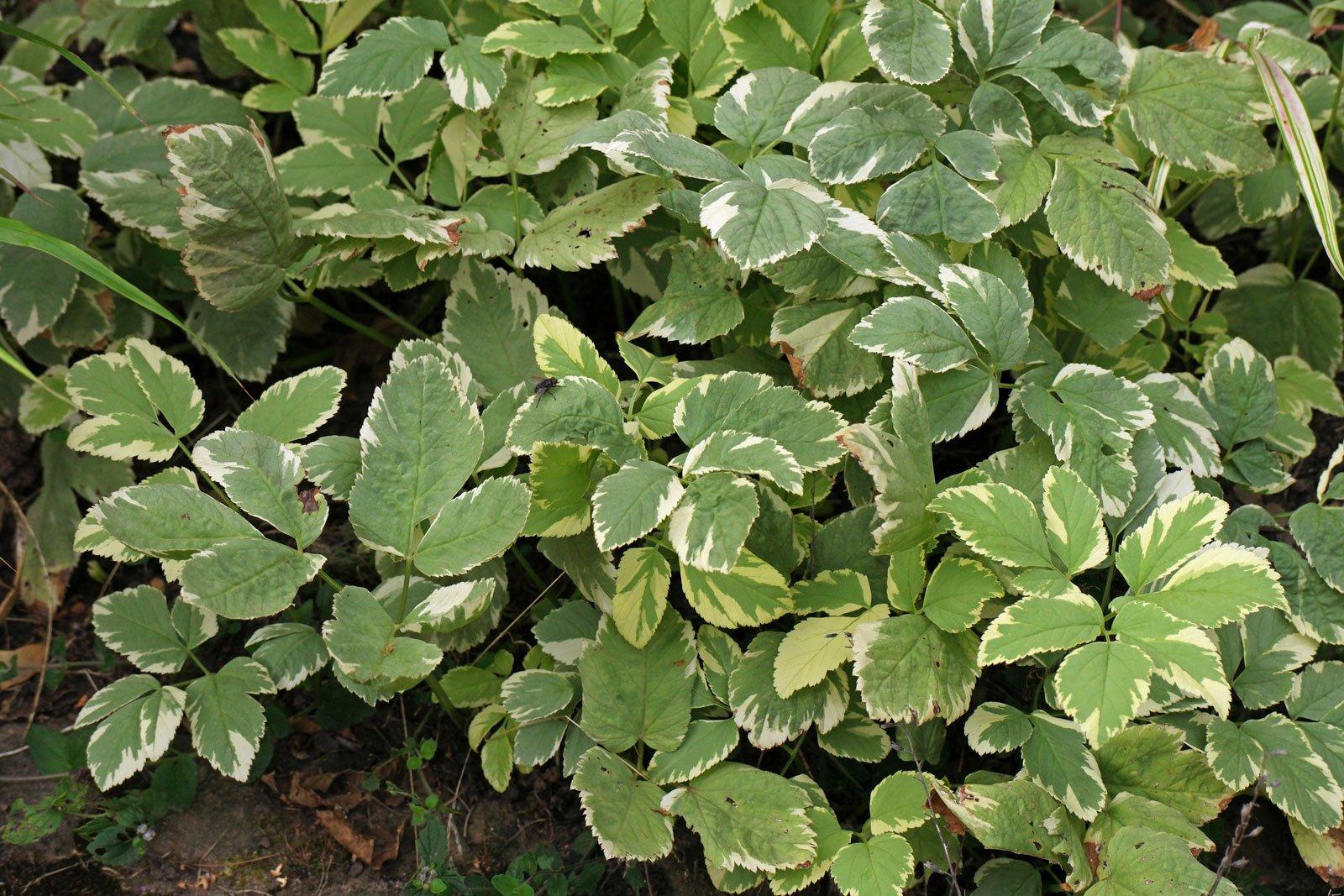 Aegopodium podagraria Variegata