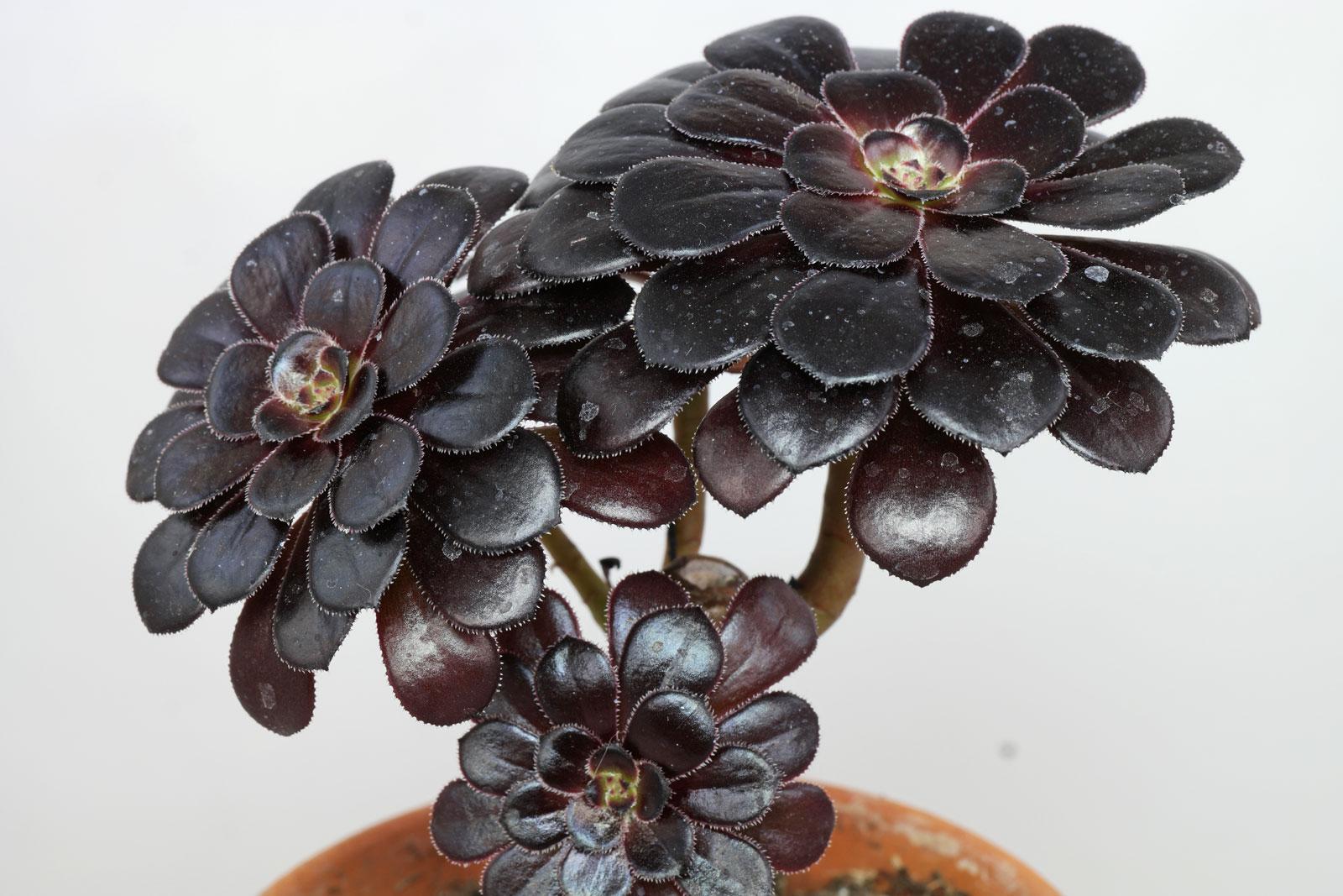 Aeonium arboreum Nigrum