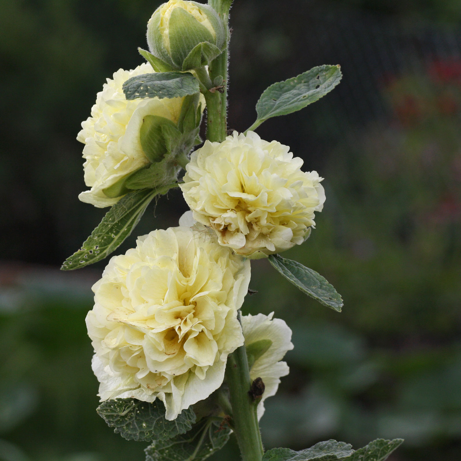 Alcea rosea Chaters Double Yellow
