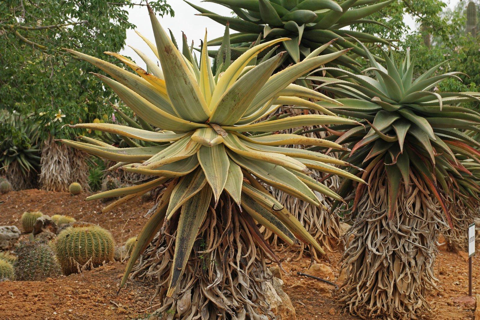 Aloe ferox Variegata