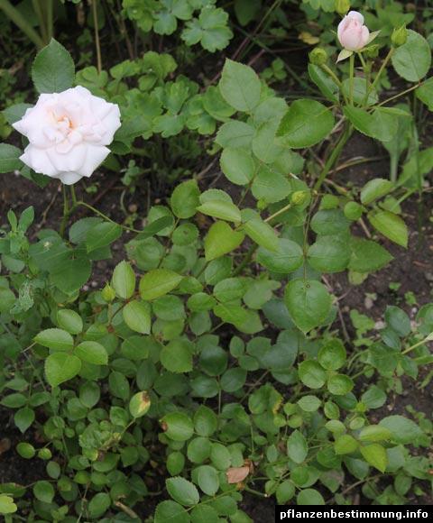 Aspirin-Rose