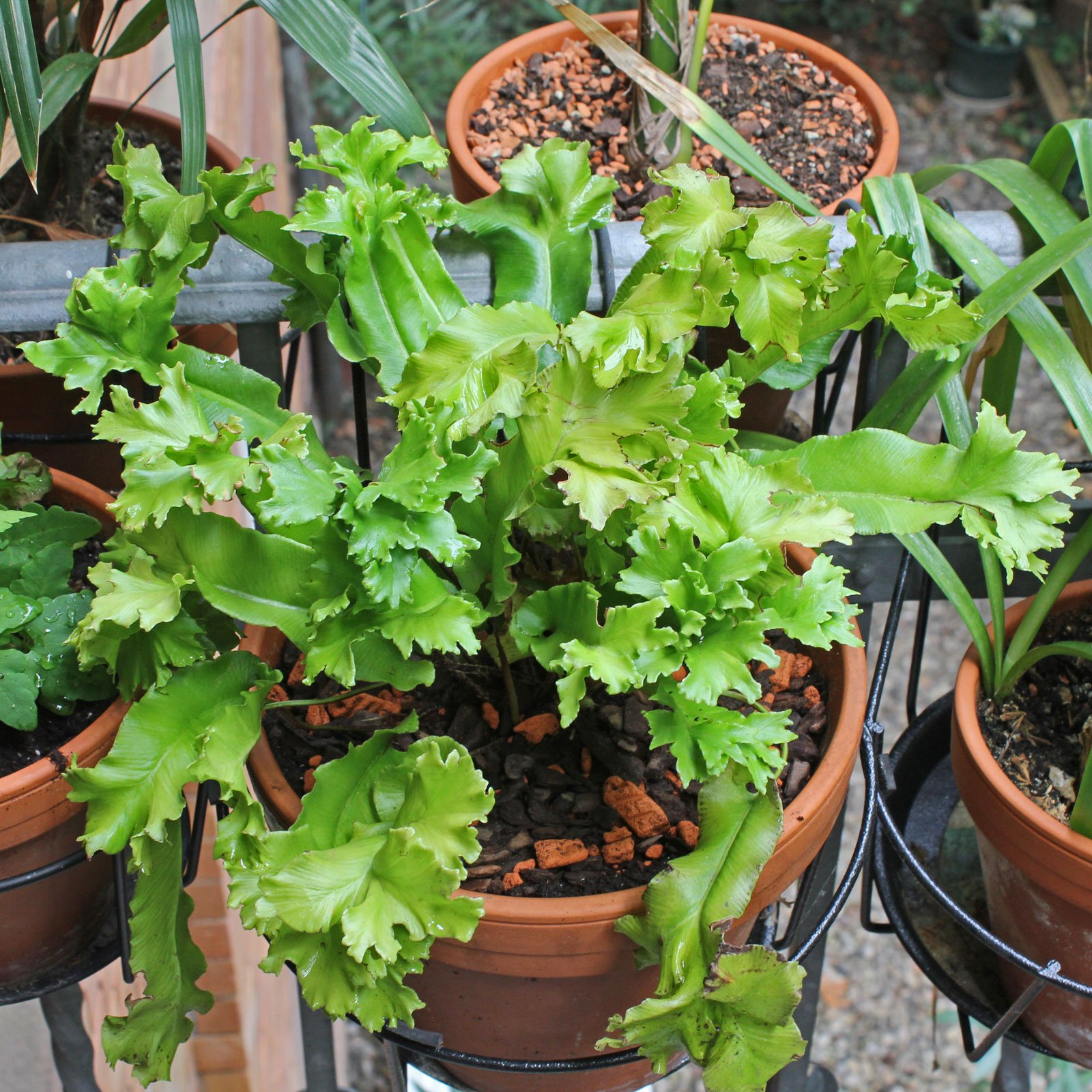 Asplenium scolopendrium Crispa