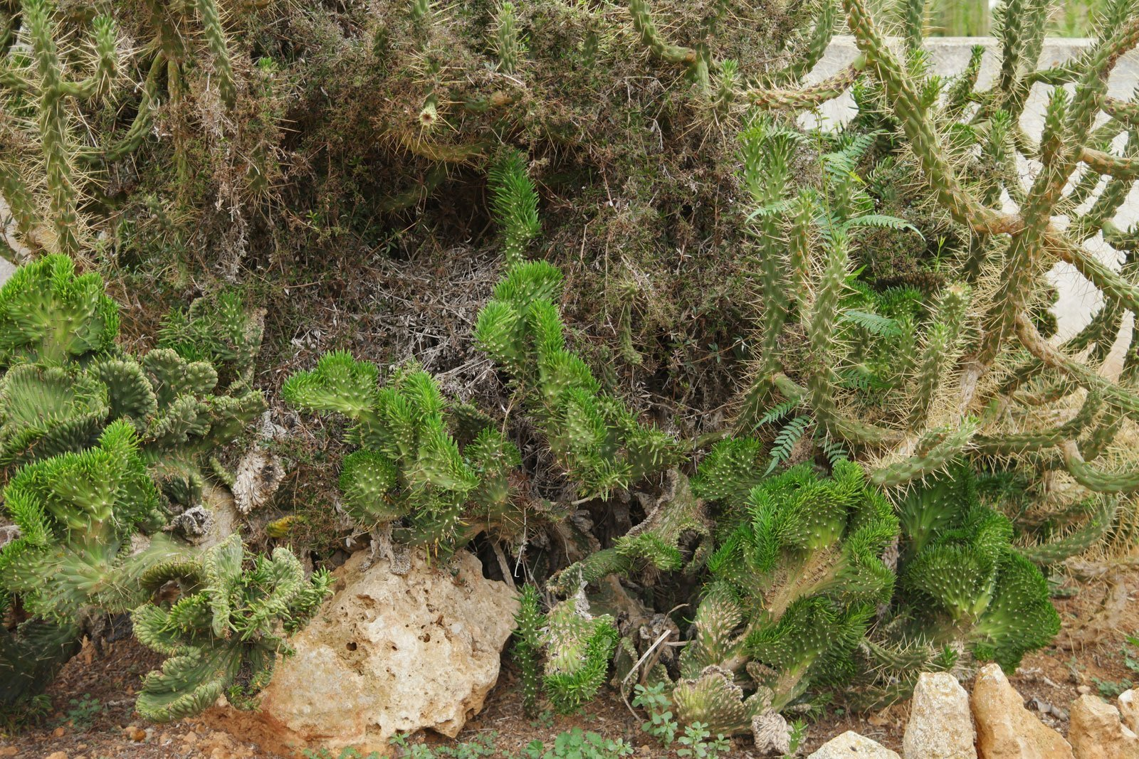 Austrocylindropuntia subulata Cristata