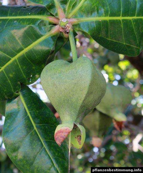 Barringtonia-Frucht