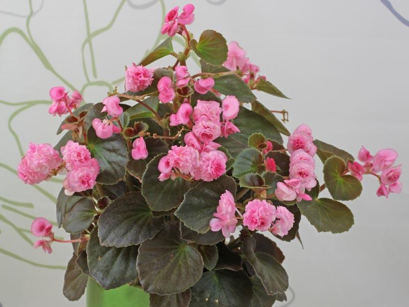 Begonia Doublet Rose