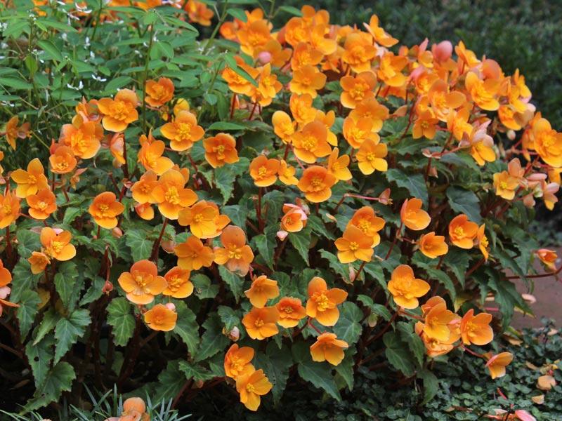Begonia Richard Galle