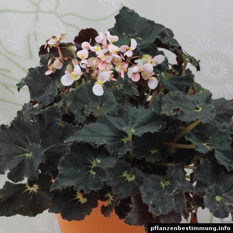 Begonia rex Dark Mambo