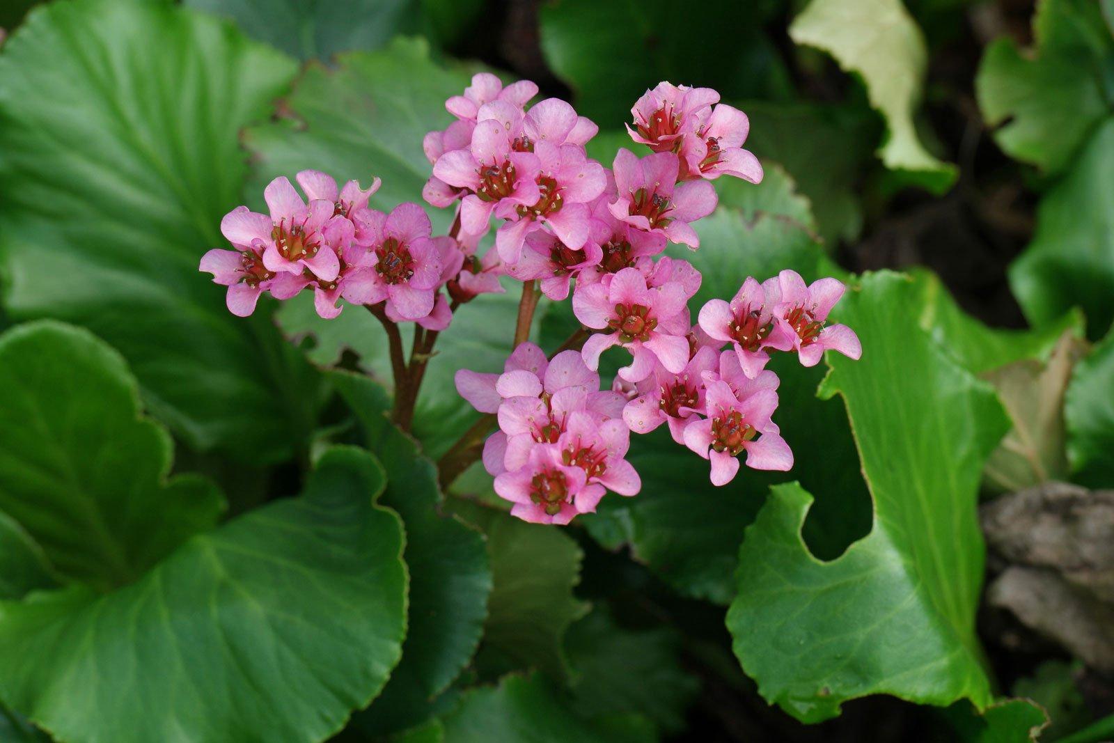 Bergenia cordifolia cv.