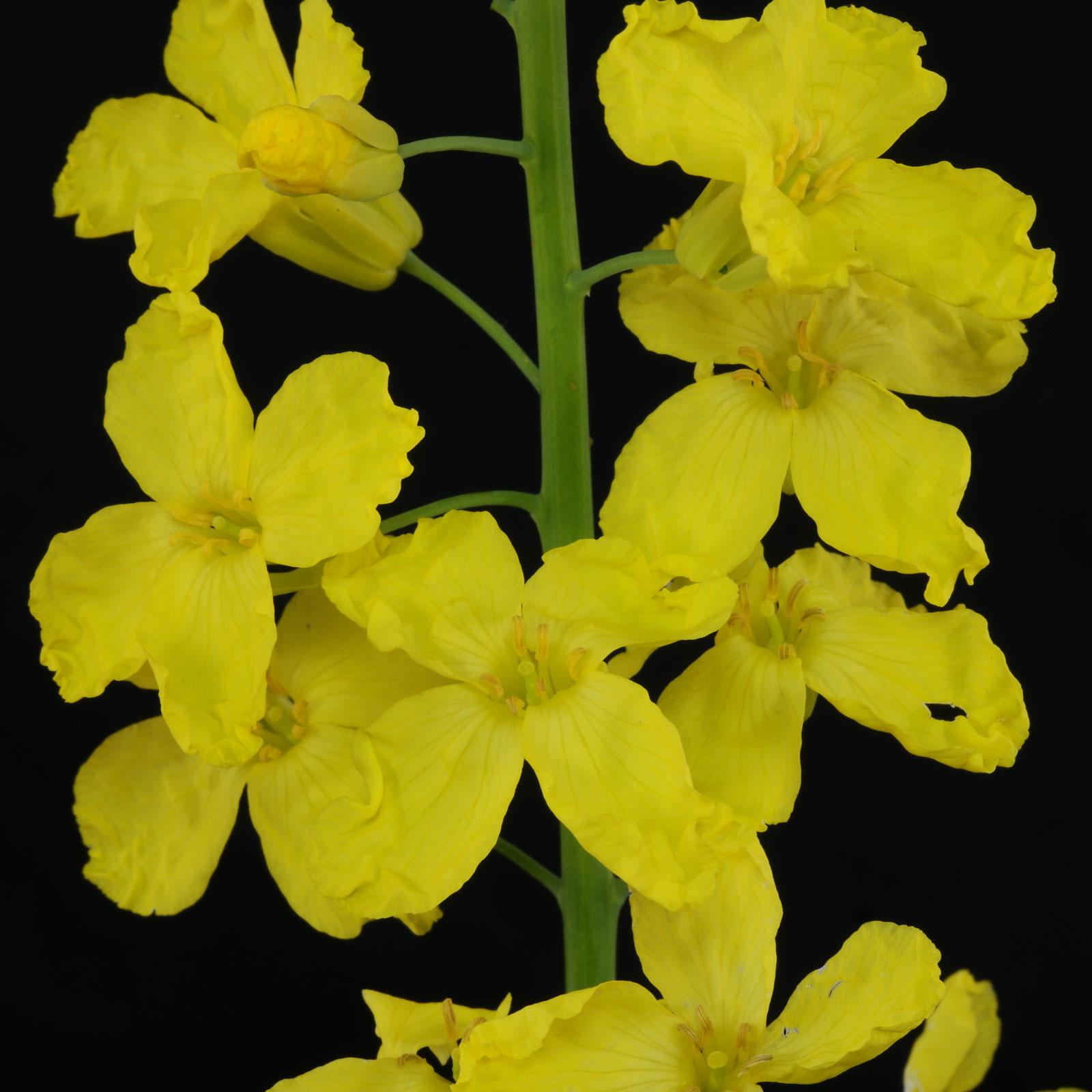 Brassica oleracea var sabellica