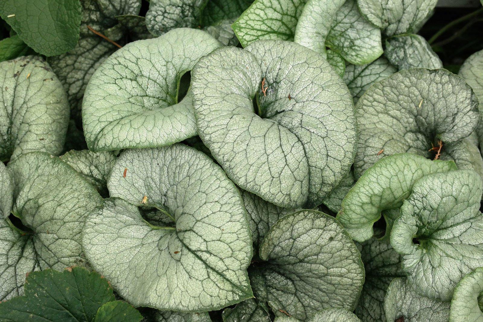 Brunnera macrophylla Looking Glas