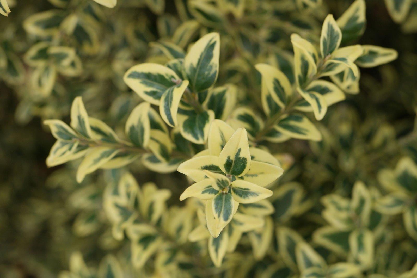 Buxus sempervirens Variegata
