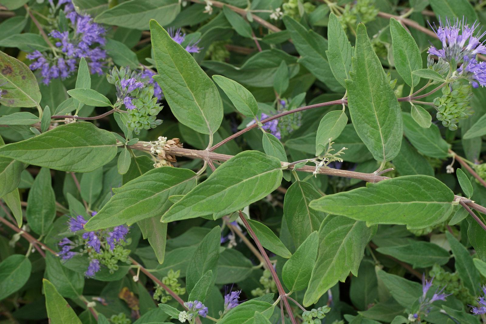 Caryopteris clandonensis