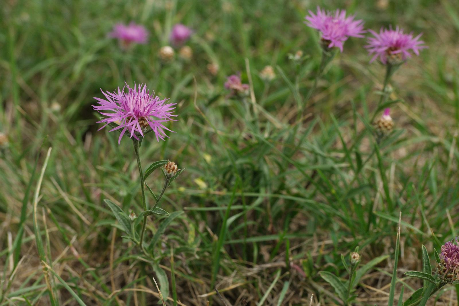 Centaurea jacea