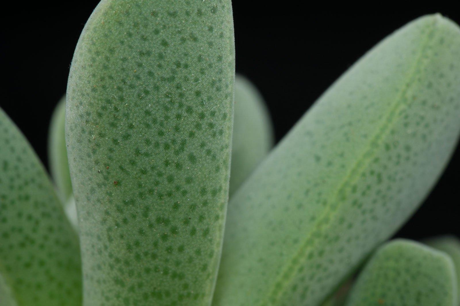 Cheiridopsis purpurea