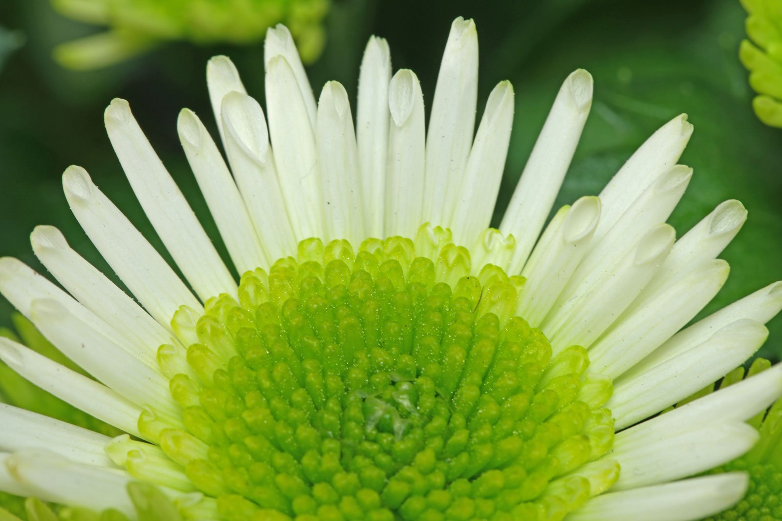 Chrysanthemum Splash Meadow