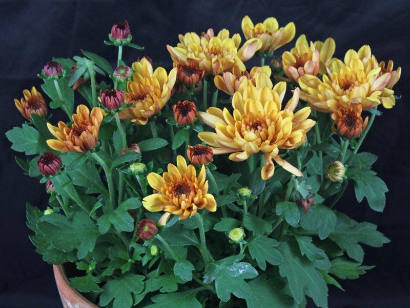 Chrysanthemum indicum orange