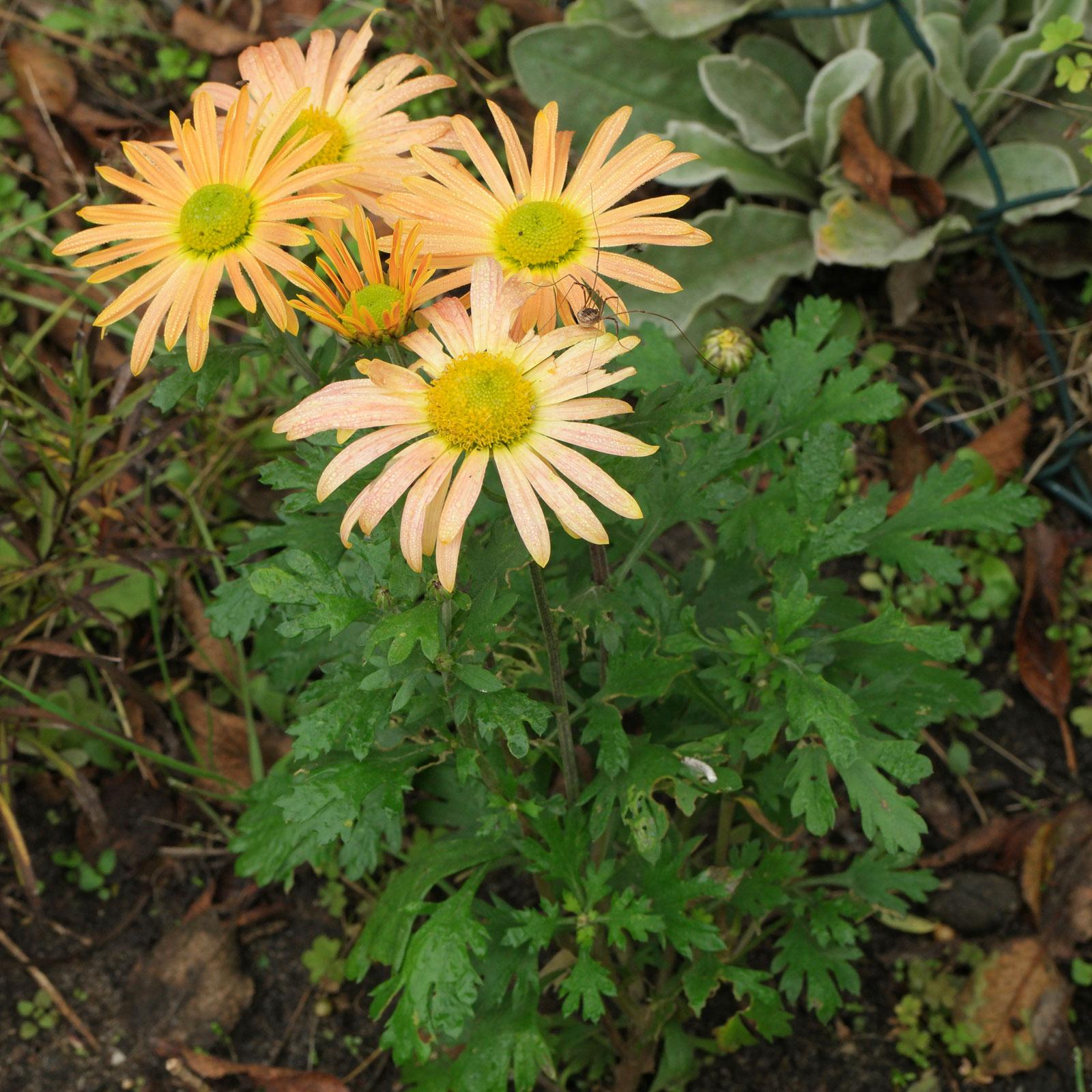 Chrysanthemum zawadskii Mary Stoker