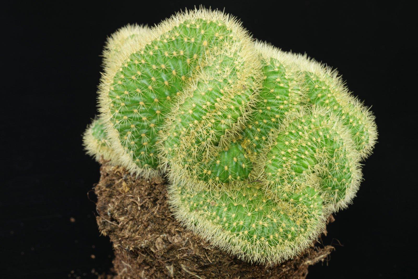 Cleistocactus winteri Cristata