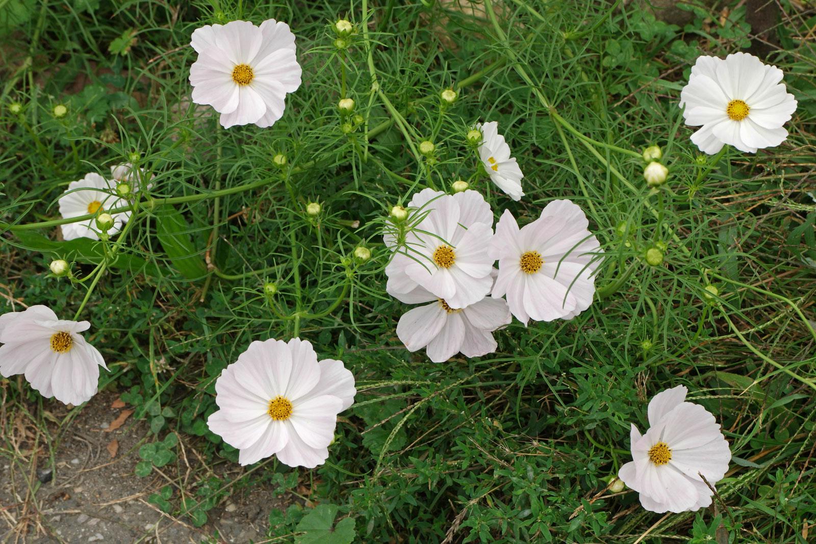 Cosmos bipinnatus cv.