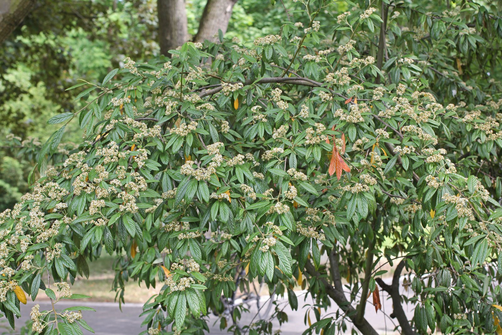 Cotoneaster salicifolius cv