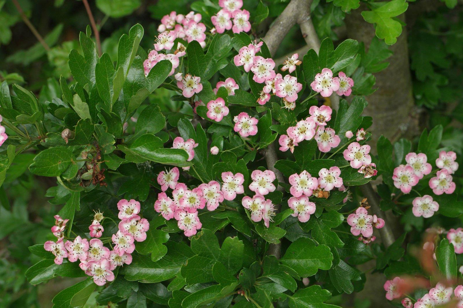 Crataegus monogyna cv.