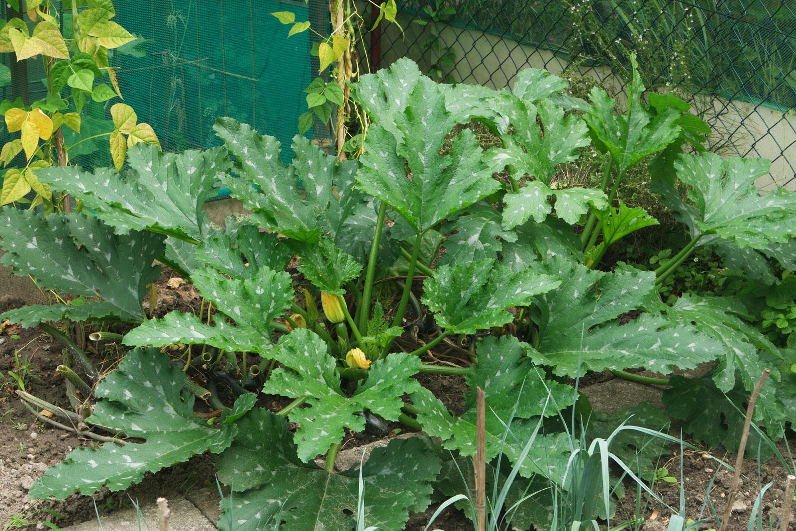 Cucurbita pepo ssp. pepo