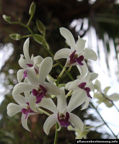 Dendrobium-Hybride