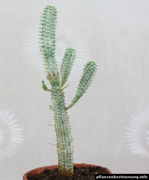 "Euphorbia mammillaris ""Variegata"""