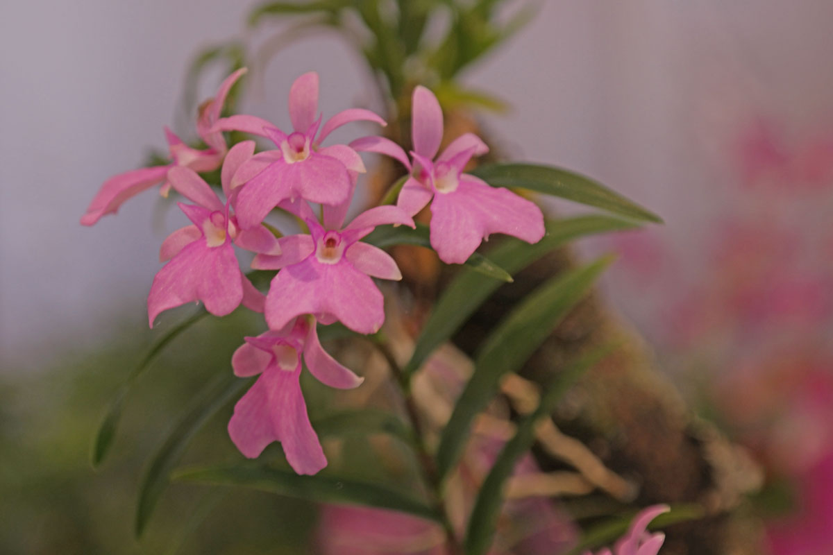 Epidendrum centropetalum