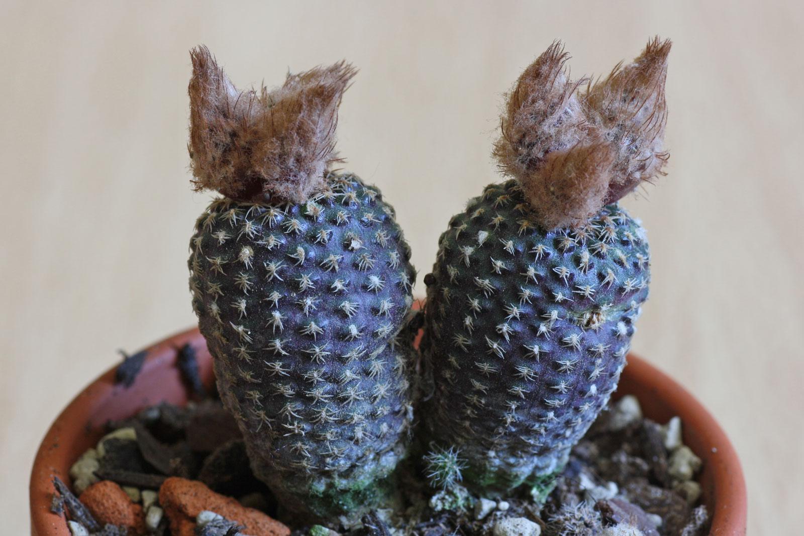 Frailea buenekeri