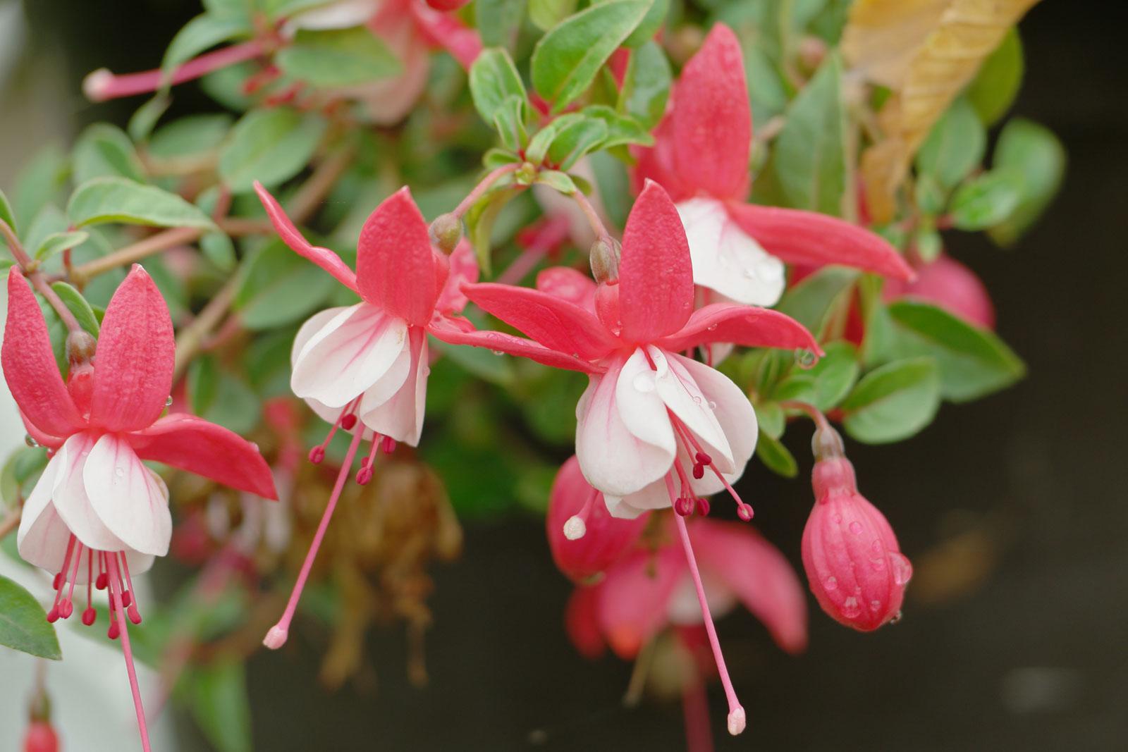 Fuchsia cv