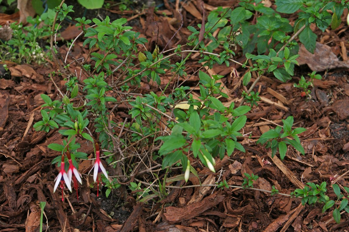 Fuchsia-magellanica-arauco