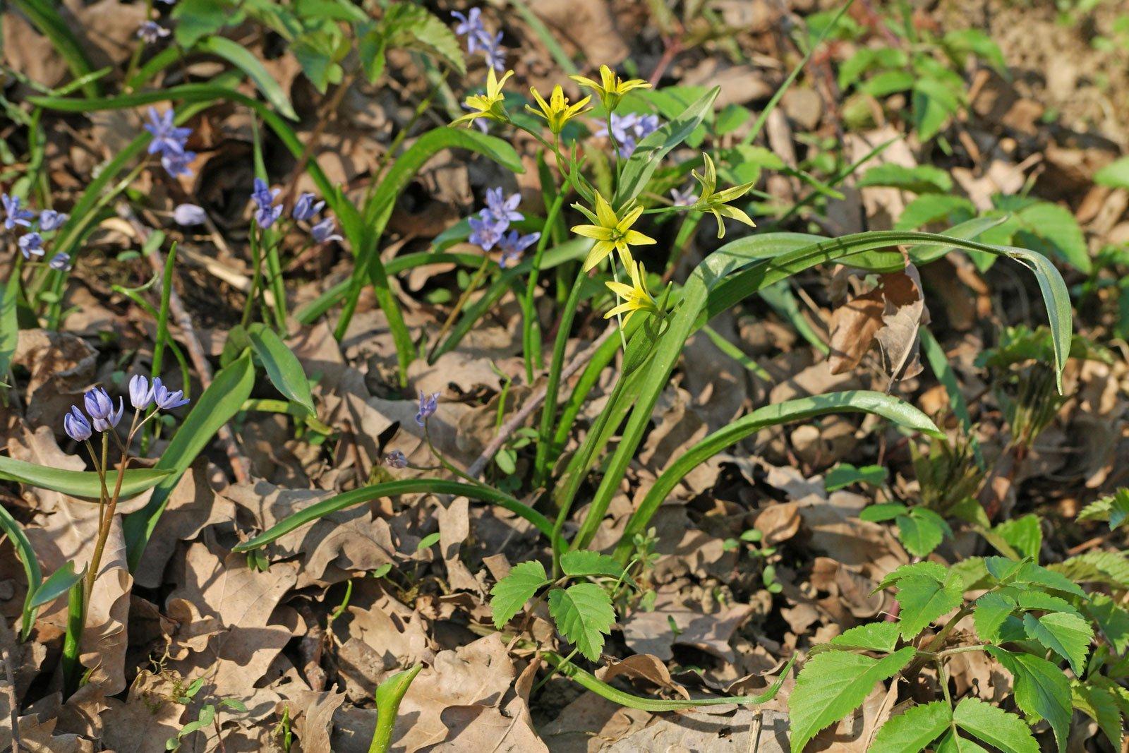 Gagea lutea Scilla bifolia